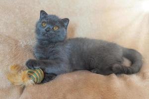 Grey Scottish kitten on a beige background the plush toy. photo