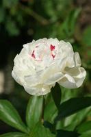 gran peonía blanca sobre un fondo borroso de hojas verdes. foto