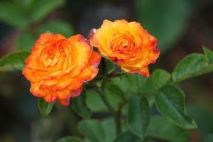 Bright garden roses on green background summer day photo