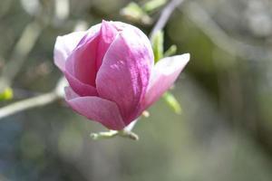 flores de primavera de magnolia rosa en ramas largas sobre fondo claro foto