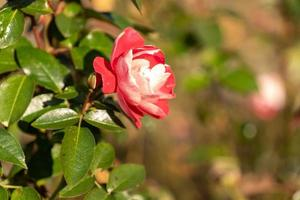 Beautiful pink rose on a blurry background. photo
