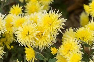floral background with yellow chrysanthemums photo