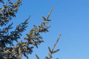 Fondo natural con ramas de abeto contra el cielo azul foto