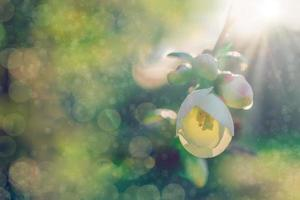 Fondo floral con flor de árbol frutal blanco foto