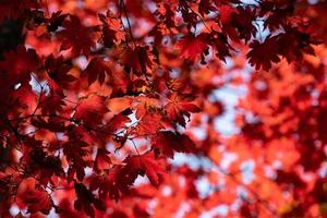 Red maple leaves against the sky. photo