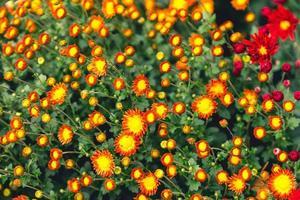 Fondo floral brillante con una gran cantidad de capullos y flores de crisantemos foto