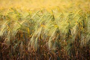 Wheat field. Agricultural field with different varieties of wheat photo