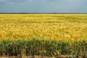 campo de trigo. campo agrícola con diferentes variedades de trigo. foto