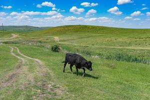 Young black bull on a green field background. photo