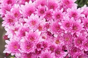Flores de crisantemo rosa sobre fondo verde borroso foto