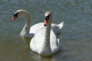 cisnes blancos en la superficie del agua del lago. belleza de la naturaleza foto