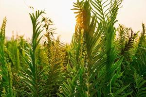 hojas de helecho y sol de la mañana foto