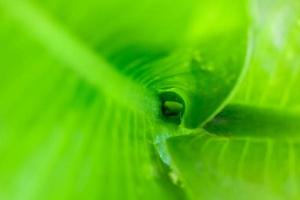 Curled leaf and green leaf background.close-up photo