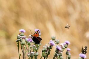 Mariposa pavo real, abejas voladoras y escarabajos en flores de cardo sobre un fondo beige foto