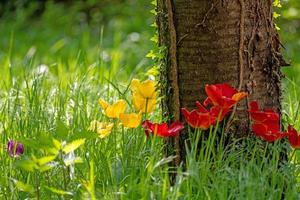 blooming yellow and red tulips grow in a group on a tree trunk photo