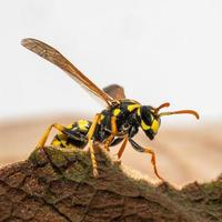 Portrait of a house field wasp crawling over a leaf photo