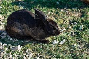 conejo con pelo negro-castaño se sienta sobre la hierba verde en un prado. foto