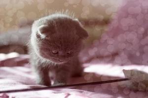 Portrait of a small gray Scottish kitten photo