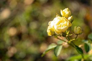 hermosa rosa amarilla sobre un fondo borroso. foto