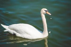 Close up portrait of a swan swimming in the water photo