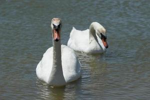 un par de cisnes blancos nada en el lago. foto