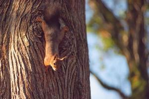 Portrait of a red squirrel on the background of a tree trunk. photo