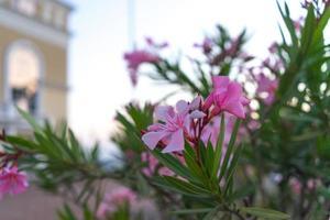 Flores de adelfa rosa sobre fondo urbano borroso foto