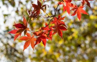 Red maple leaves, golden autumn photo