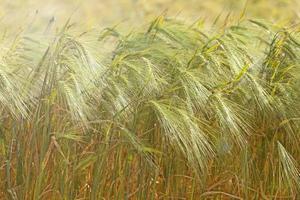 Macro photo of beautiful golden wheat waiting