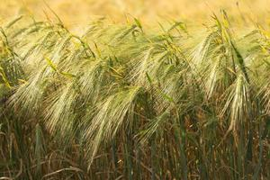 Golden Ripe Wheat Field Agricultural Landscape photo