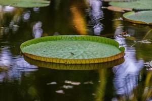 Water Lily Victoria amazonica or Victoria Regia photo