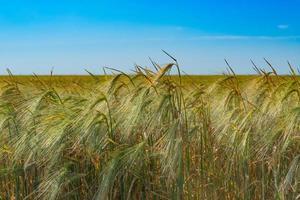 espigas de trigo contra un cielo azul foto