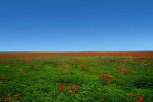 Natural landscape with red poppies on a field photo