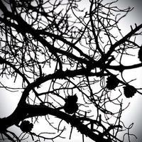 Imagen monocroma de un árbol con piñas foto