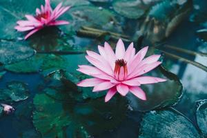 Pink lotus in a pond in the morning at a park, nature background. photo