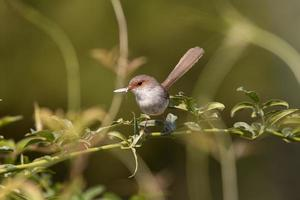 A female fairy wren bird sitting on a green plant branch photo