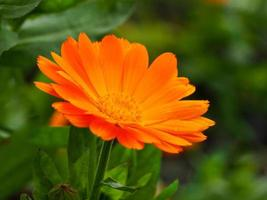 Closeup of an orange marigold Calendula flower photo