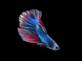 Siamese betta fighting fish with beautiful colors on black background photo
