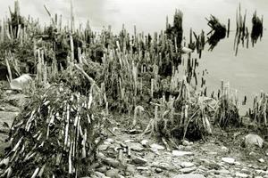 tallos secos en la orilla del lago foto