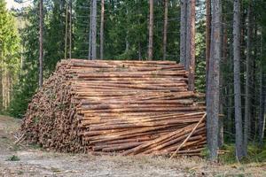 Gran pila de madera de pino en un bosque foto