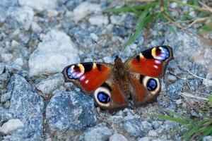 mariposa pavo real en el suelo foto