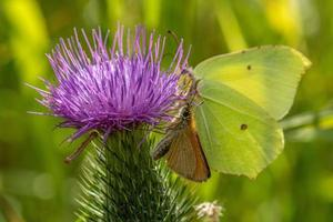 Cerca de dos mariposas que comparten la misma flor de cardo foto