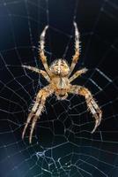 Araña de jardín en su web foto