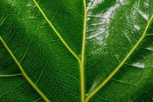 Shiny green leaf with yellow veins photo