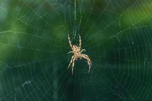 Araña de jardín en el centro de la web. foto
