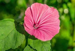 Cerca de una sola flor de malva real foto