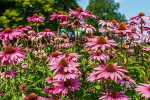 vista de ángulo bajo, de, rosa, coneflowers foto