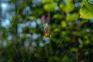 Gran araña de jardín sentada en una telaraña en forma de orbe foto