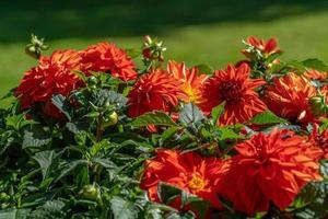 Racimo de flores frescas de dalia roja en la luz del sol foto