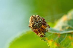 Araña de jardín tratando de esconderse en una hoja verde foto